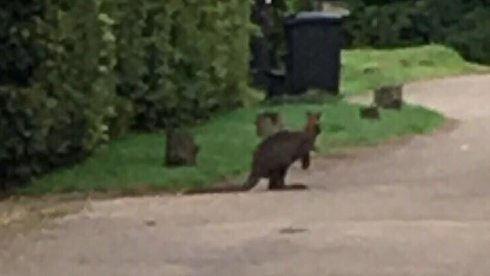 Henley S Wallabies Where Do They Come From Bbc News