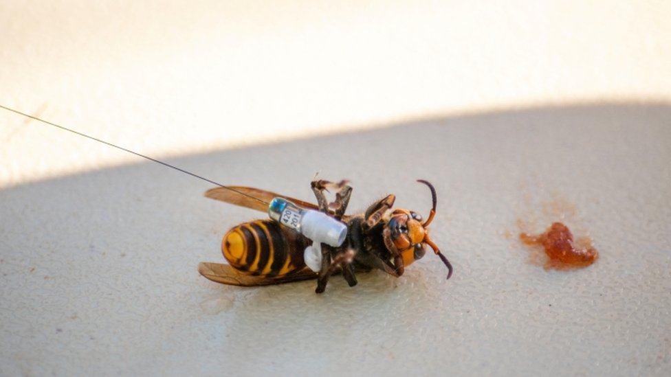 Scientists in Washington state fitted a tracking device to the insects using dental floss