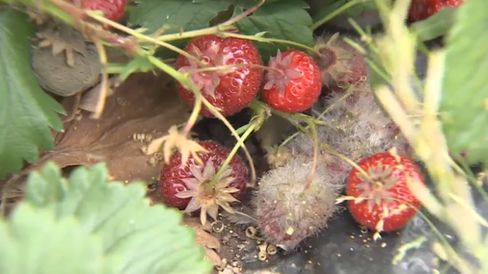 Fruit 'left to rot' due to labour shortages