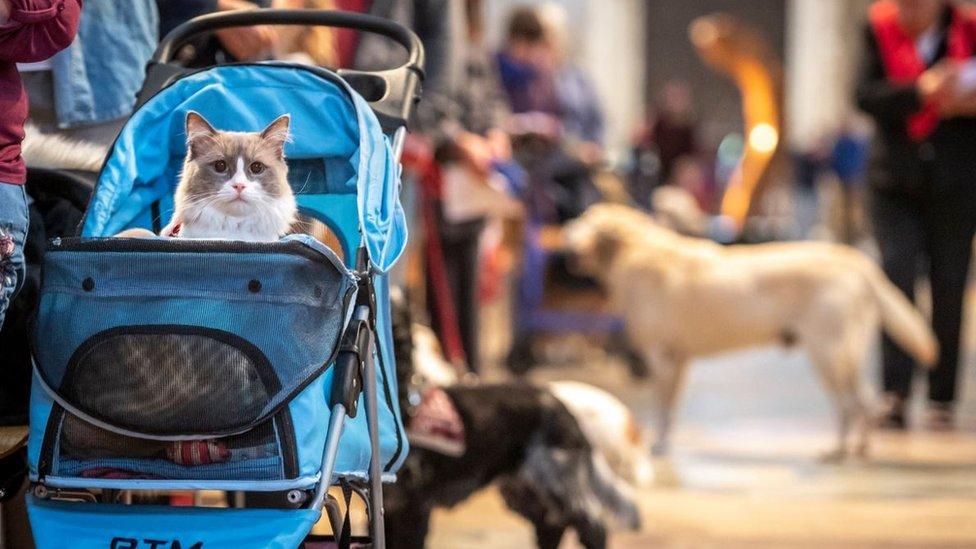 قط في عربة