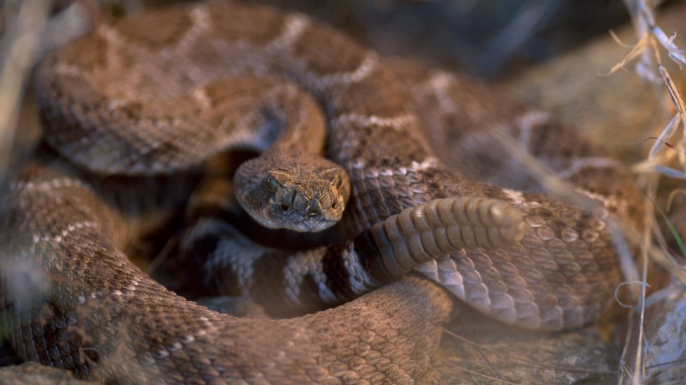 Picture shows a tiger rattlesnake