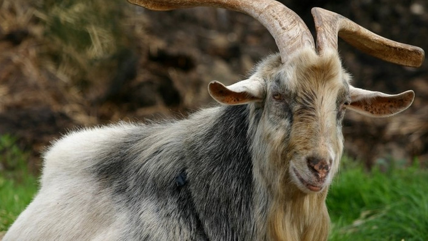 Goat found dead with tongue cut out dumped in Bursledon