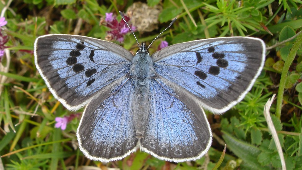 A Large Blue butterfly