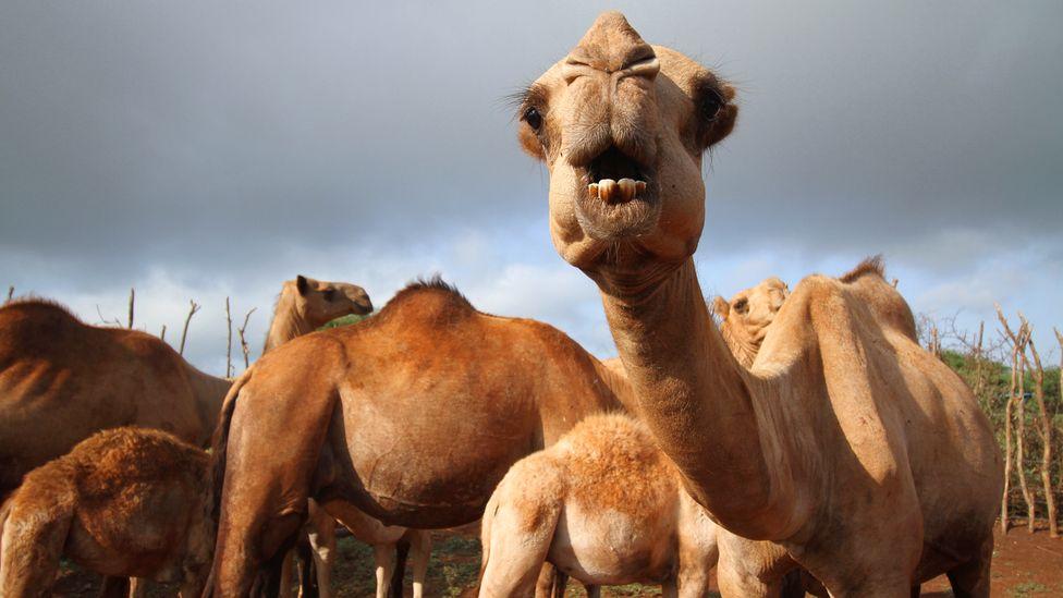 Por que os camelos podem ser a origem da próxima pandemia
