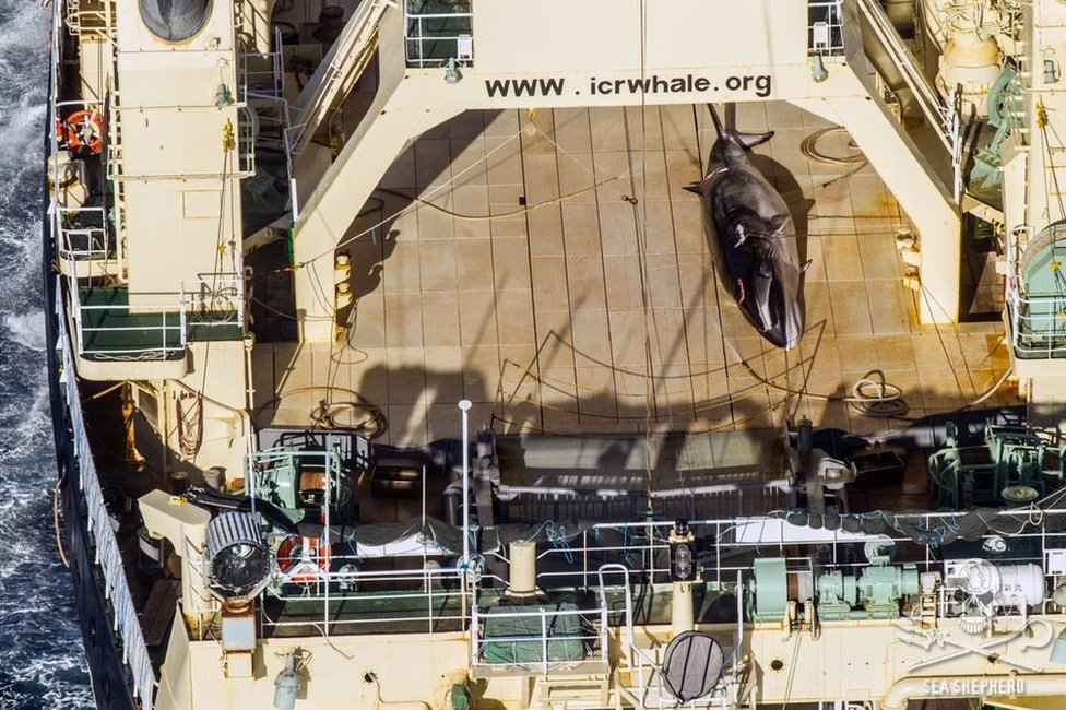 A photo released by Sea Shepherd in January of a whale on a ship