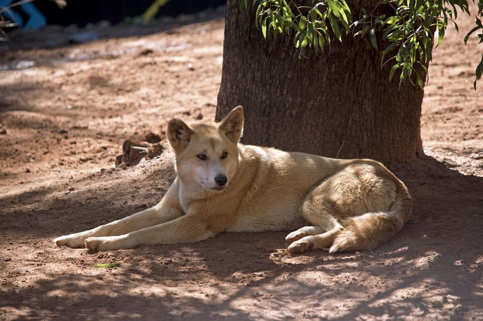 Un dingo australiano descansando bajo la sombra de un árbol.