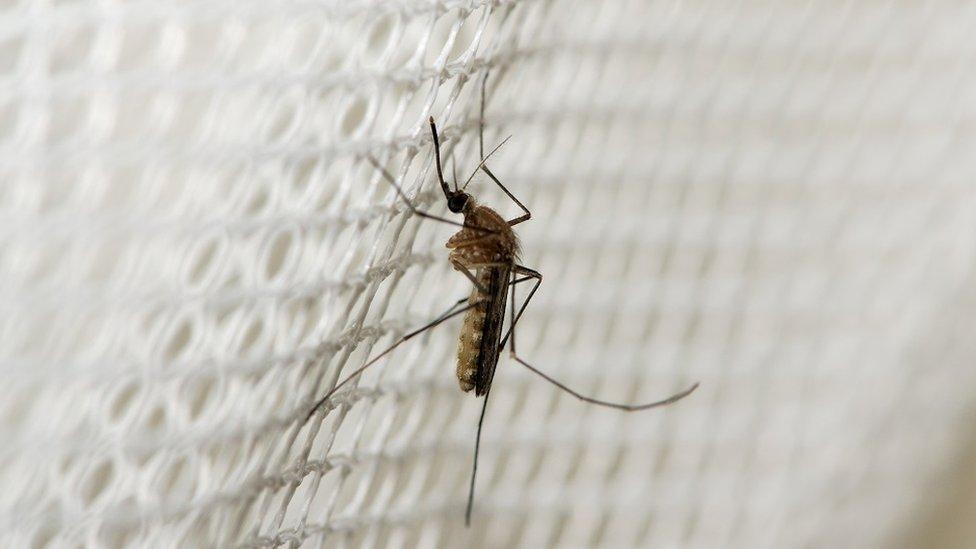 Un mosquito en una red.