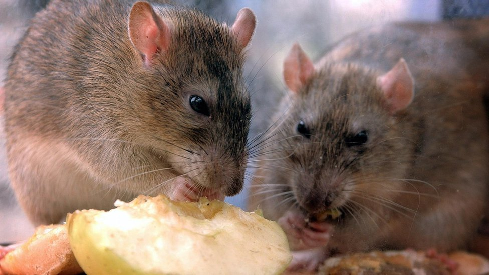 Rats Lockdown Perfect For Unwelcome Wildlife Bbc News