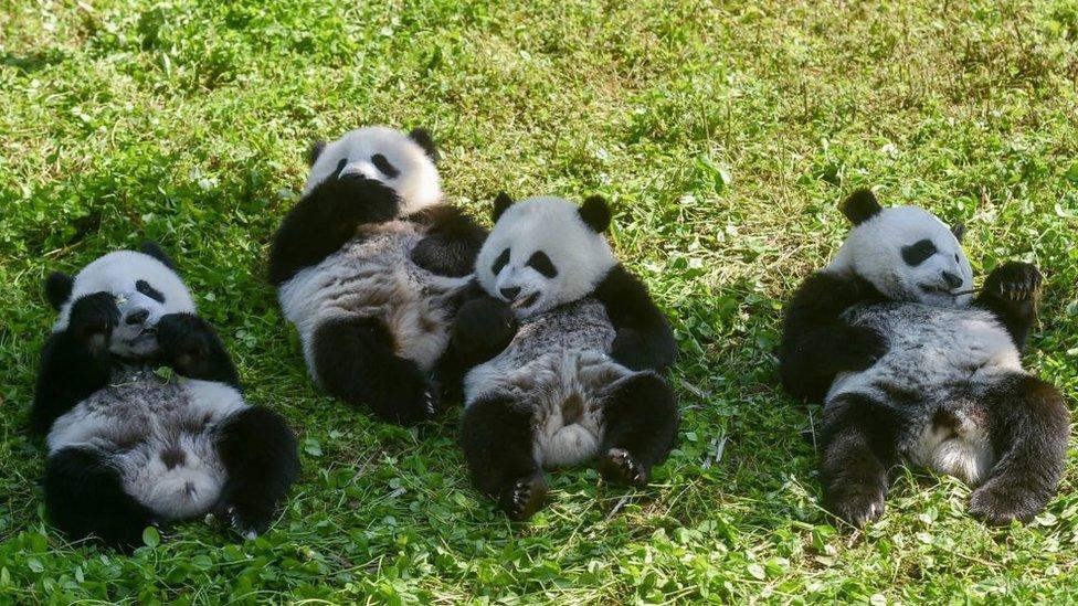 his photo taken on June 13, 2019 shows panda cubs (L-R) Linlang, Shenbinzai, Meimei and Hehe eating in the Shenshuping panda base of the Wolong National Nature Reserve in Wenchuan, China's southwestern Sichuan province
