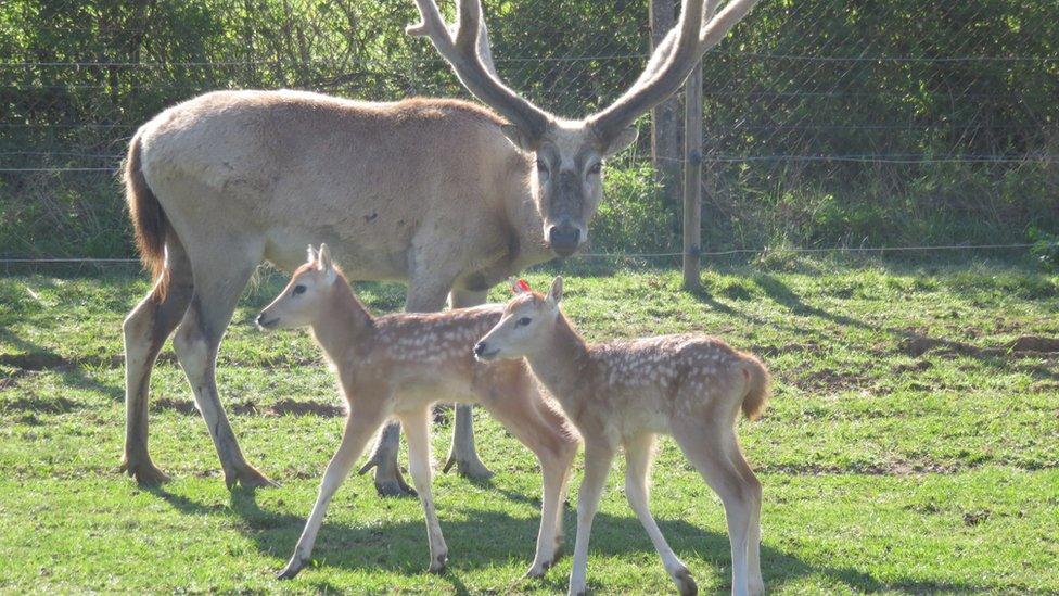 Pere David's deer at Whipsnade Zoo