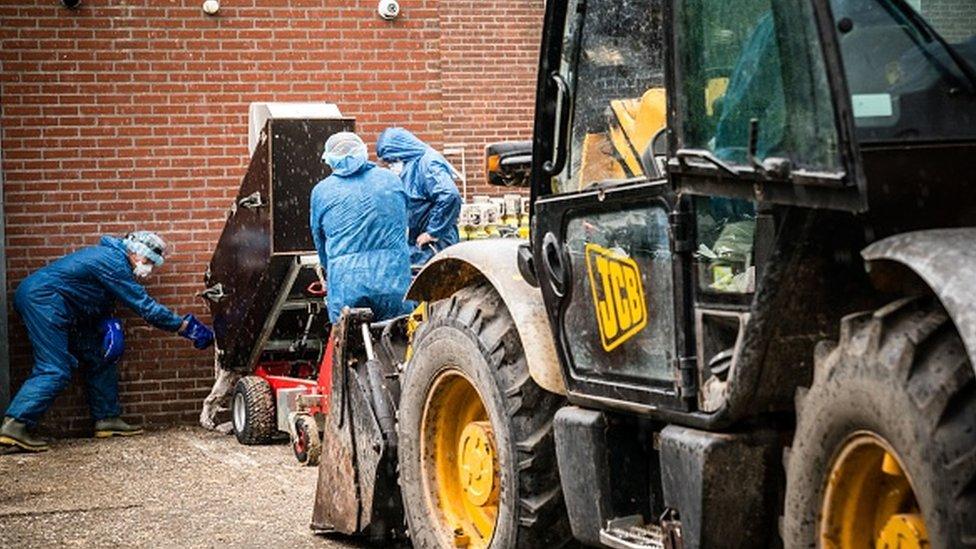 Personas con trajes protectores en una granja de visones en los Países Bajos