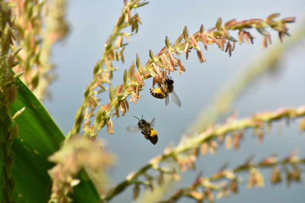 A bee and maize