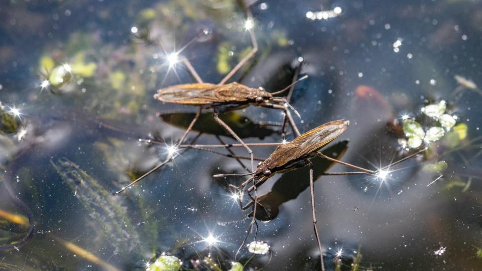 Insectos llamados zapateros (Gerris lacustris) que flotan con sus patas sobre el agua