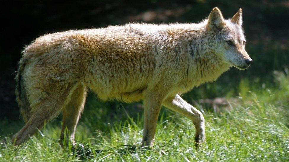 Rise in wolf attacks alarms Dutch sheep farmers