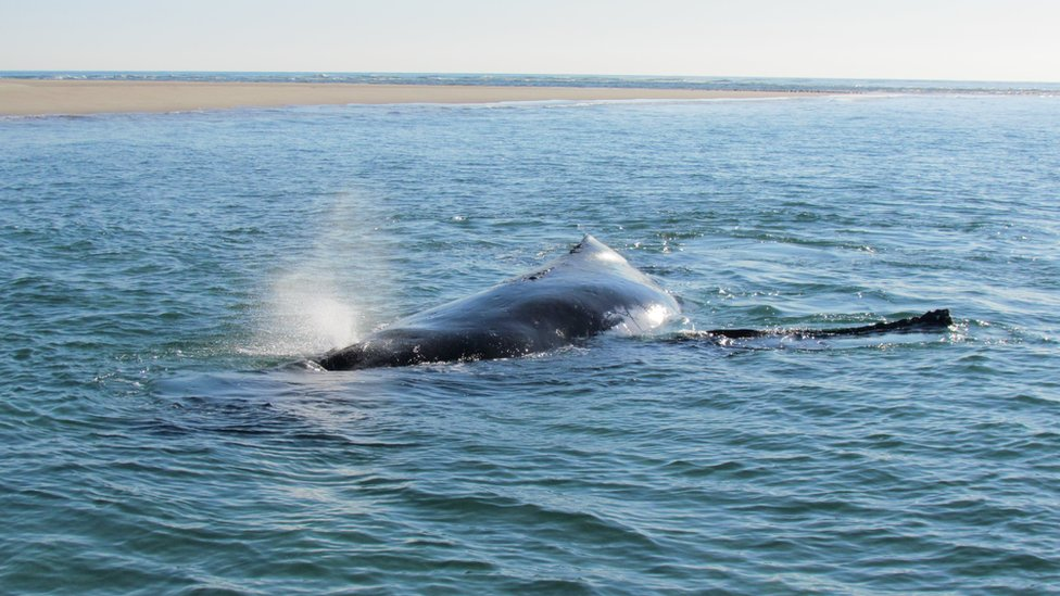 The stranded whale, in shallow water near the shore. 6 October 2016.