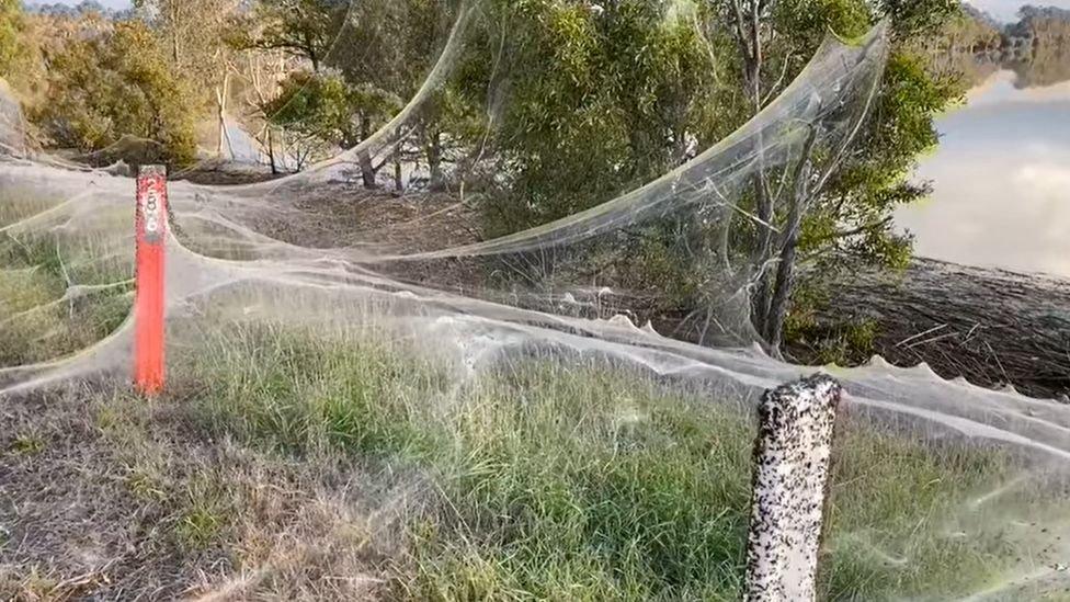 Avustralya örümcek ağları