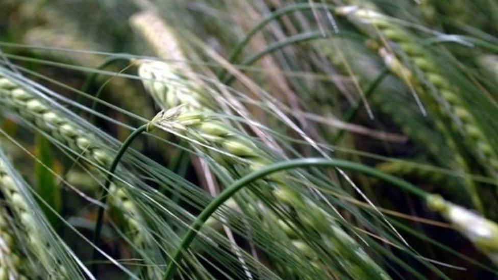 अनाज को जंगली क़िस्में बचाएंगी जलवायु परिवर्तन की मार से