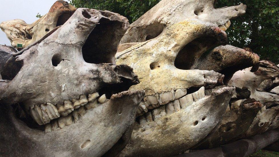 Rhino skulls in South Africa