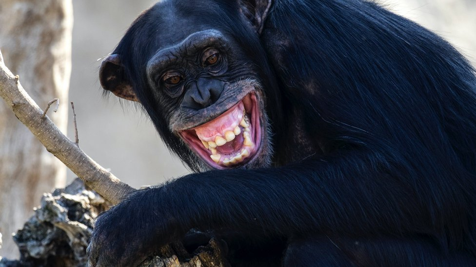 Close up of chimpanzee, on a log with open mouth and screaming