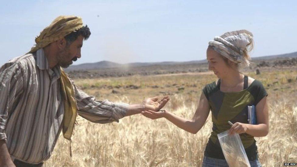 Amaia Arranz-Otaegui (der) fue quien halló los restos carbonizados de pan. En la imagen se ve a la investigadora española con Ali Shakaiteer, asistente local de investigación, recolectando trigo en el Desierto Negro de Jordania.
