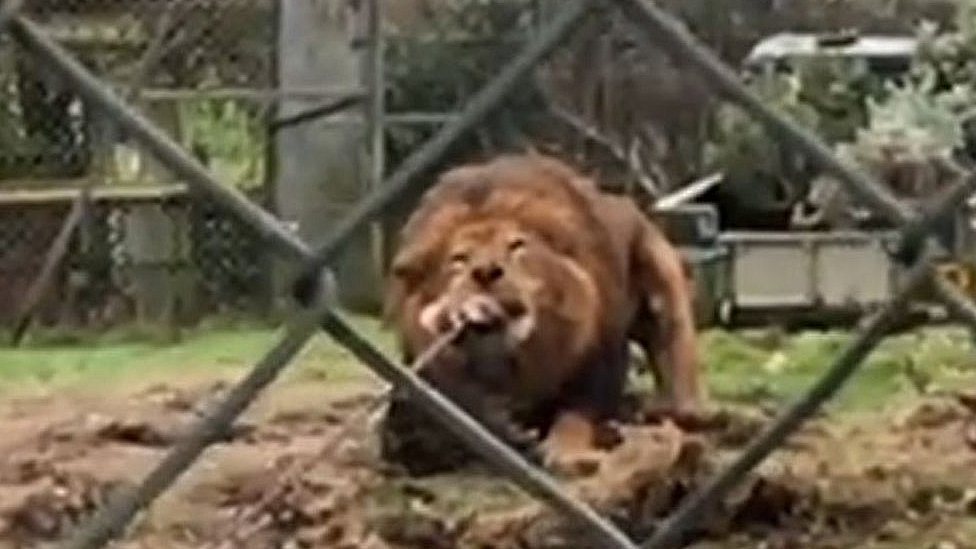 Plymouth Albion rugby team in Dartmoor Zoo lion tug-of-war