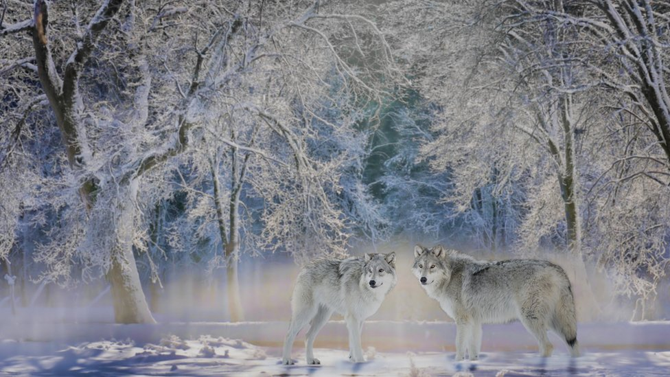 Lobos en Yellowstone
