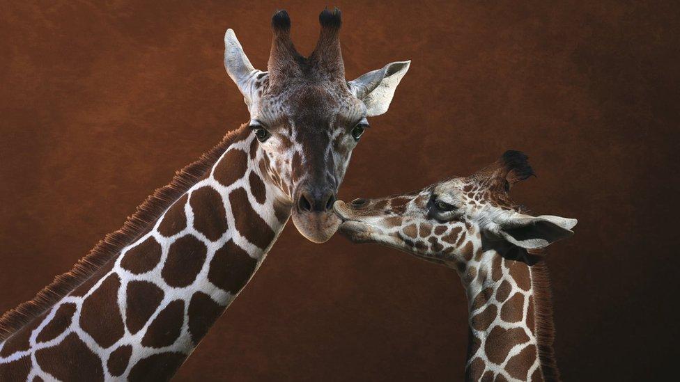 Una jirafa joven y uno de sus padres.