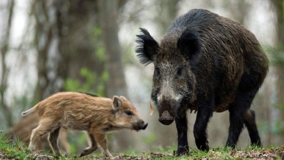 Wild boar in Berlin woodland, 2016 file pic