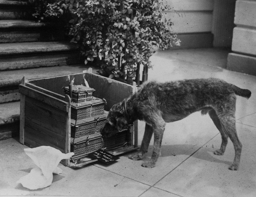الكلب ليدي بوي يستمتع بكعكة عيد الميلاد في البيت الأبيض عام 1921.