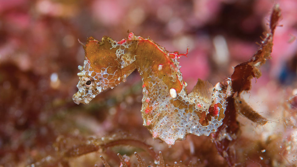 Caballito de mar Hippocampus japapigu