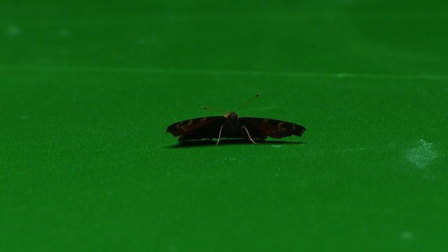 A butterfly causes chaos during Roberston v Higgins match