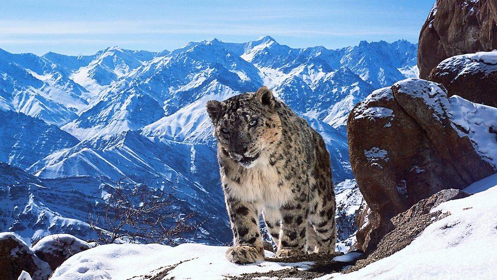 A Snow Leopard in Planet Earth II
