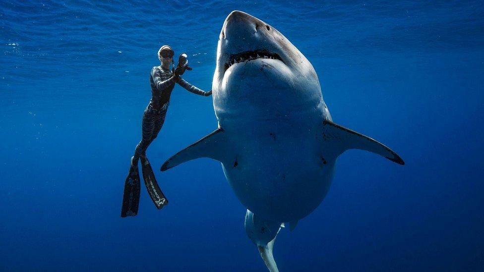 Una buzo con un tiburón blanco