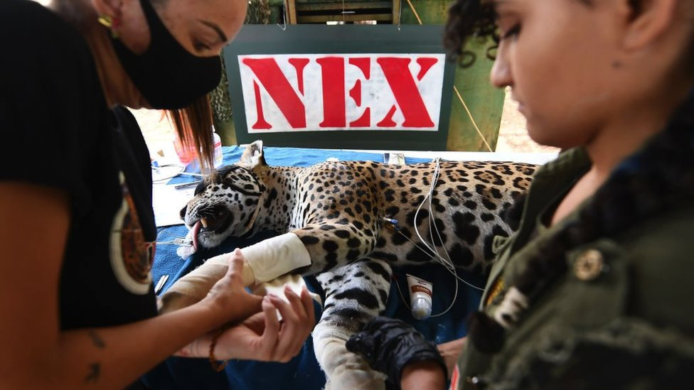 An adult female jaguar with burnt paws receives treatment