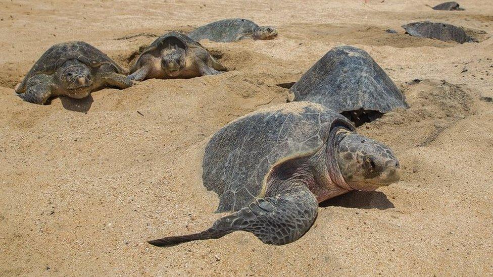 morske kornjače
