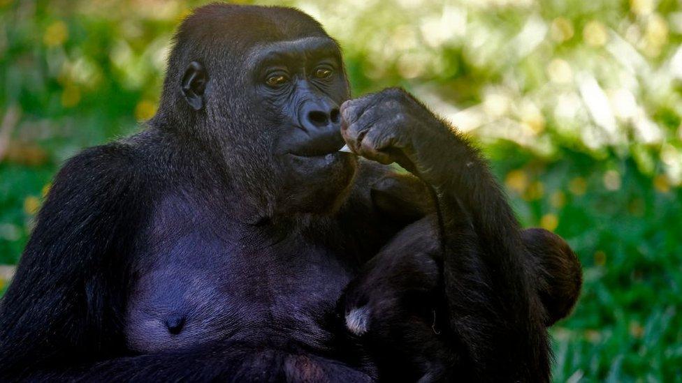 Gorila en un zoológico de Brasil