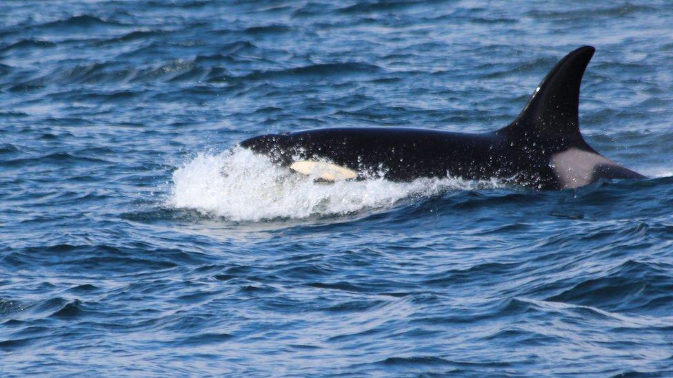 An Orca whale.