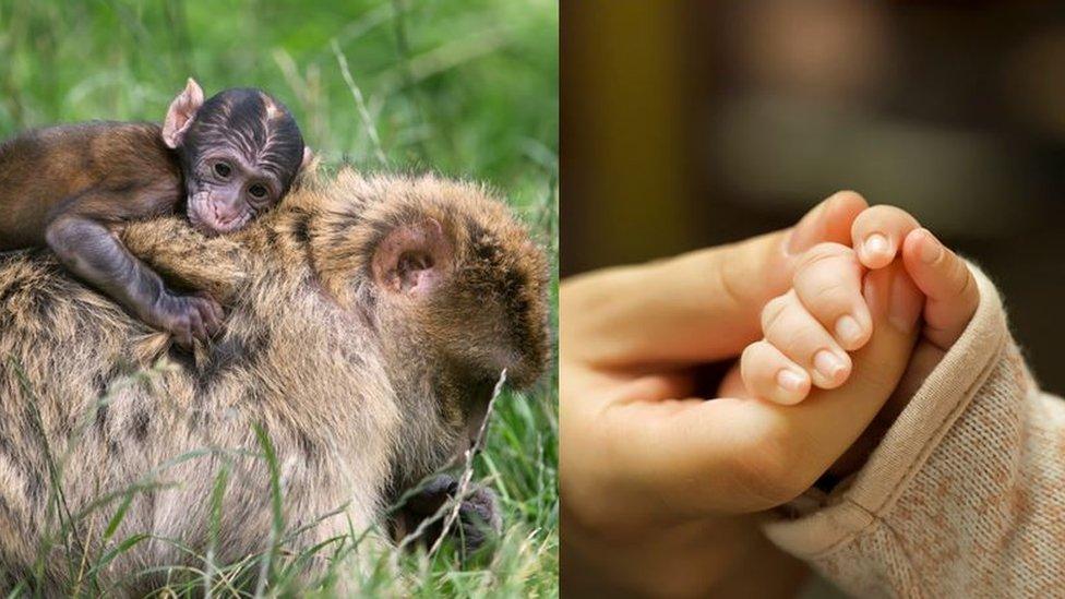 Primat atalarımızın bebekleri ulaşım için anne ve babalarına tutunuyordu.