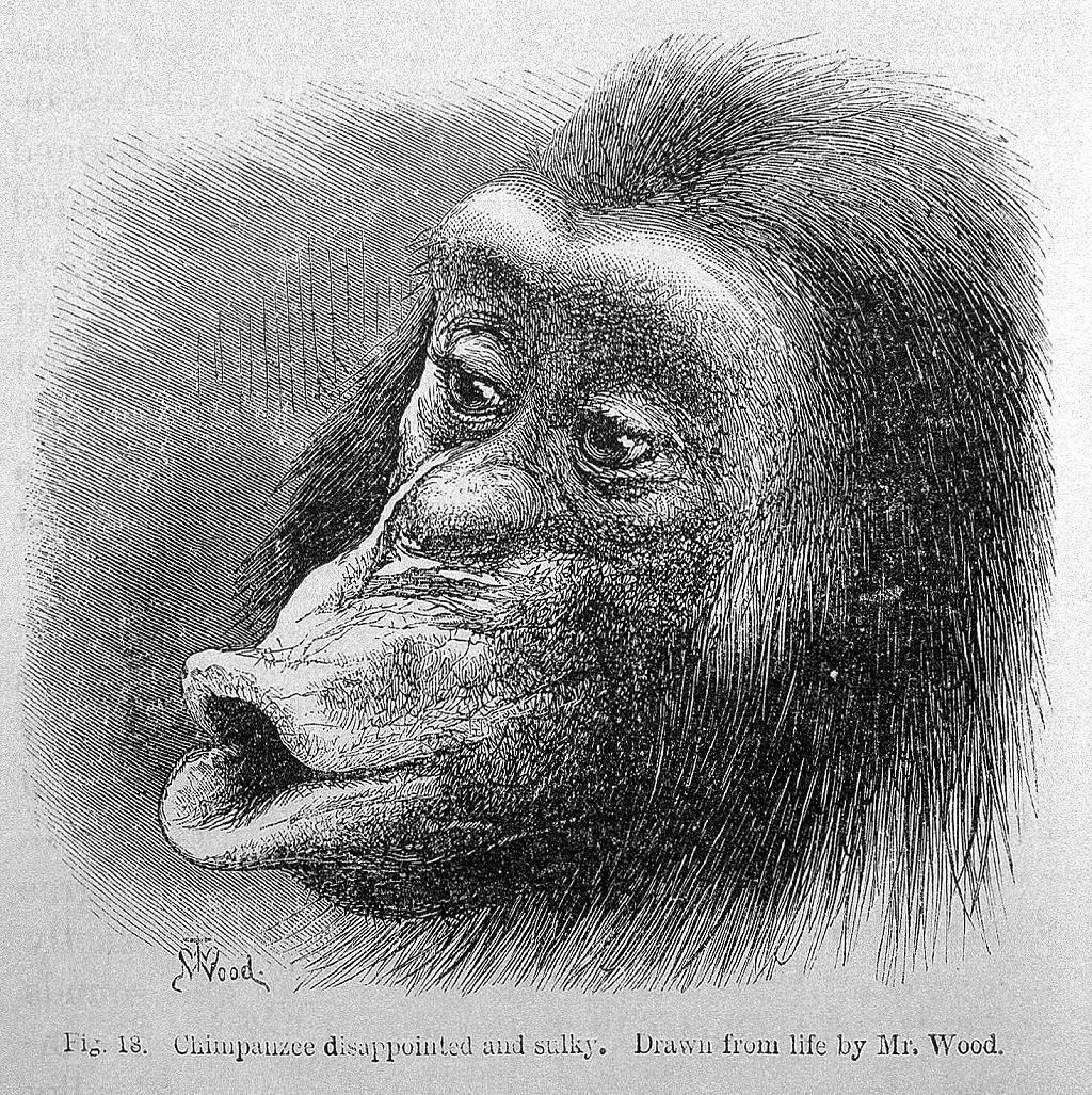 """Ilustración del libro de Darwin de un """"chimpancé decepcionado y malhumorado""""."""