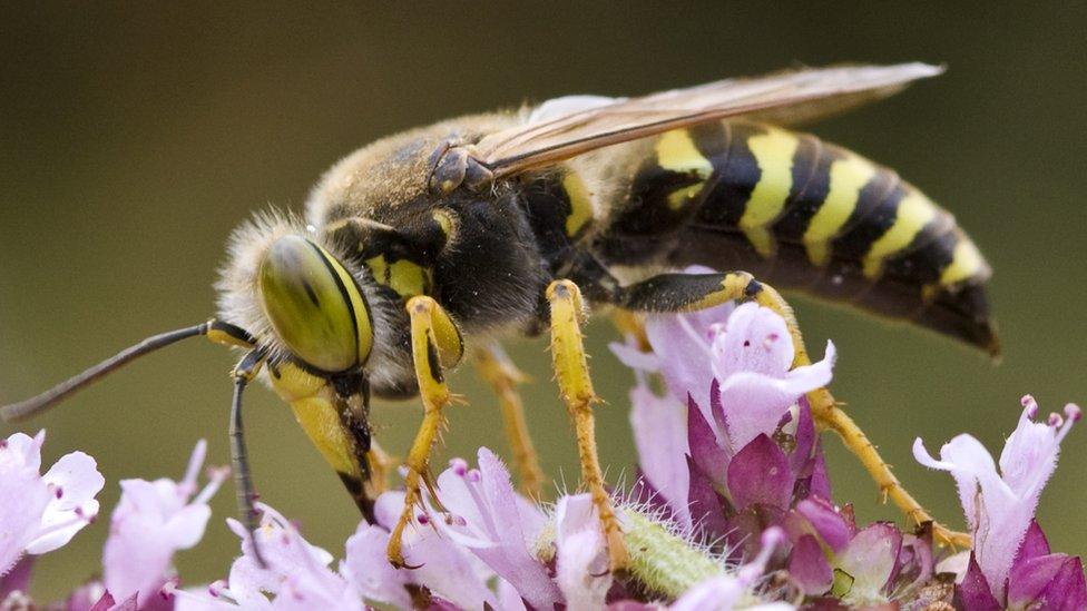 Eşek arısı