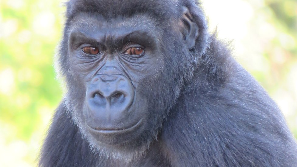 Bristol Zoo male gorilla revealed to be a female