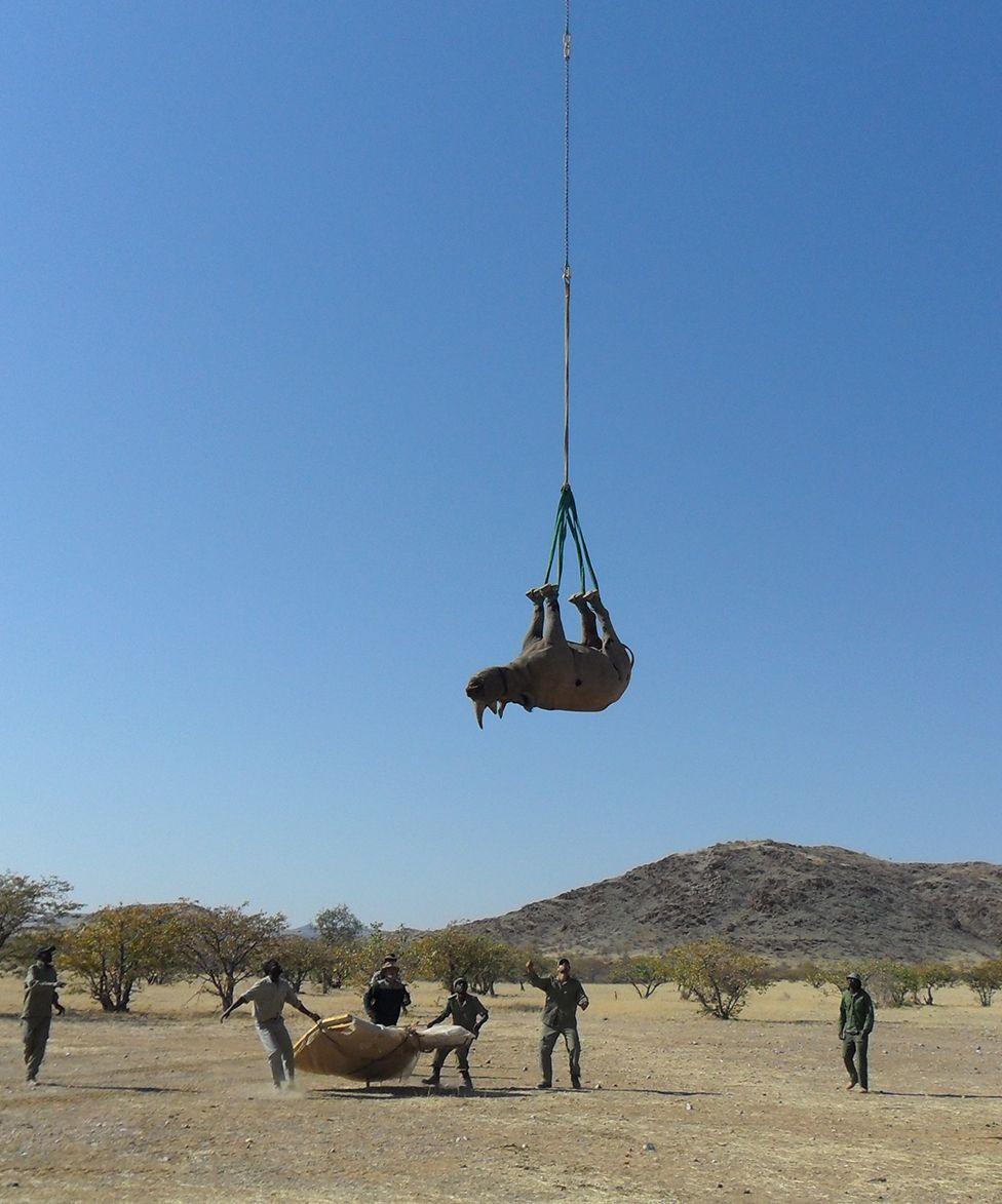 Un rinoceronte siendo transportado boca arriba colgando de un helicóptero