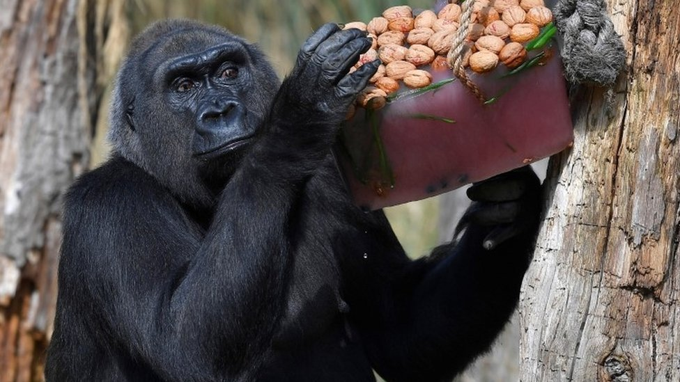 "Lowland gorilla ""Zaire"" with iced treats containing nuts and berries during the hot weather at London Zoo"