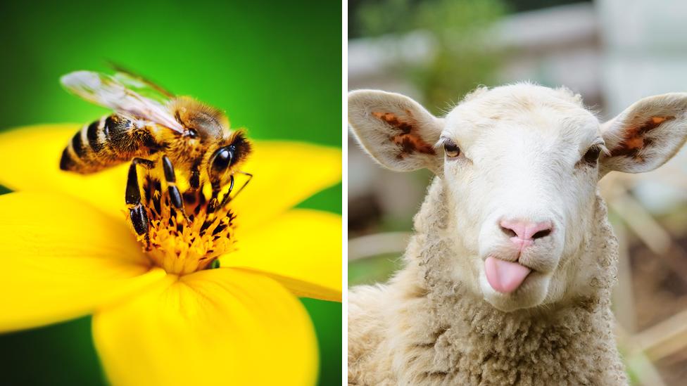 Foto de una abeja y una oveja.
