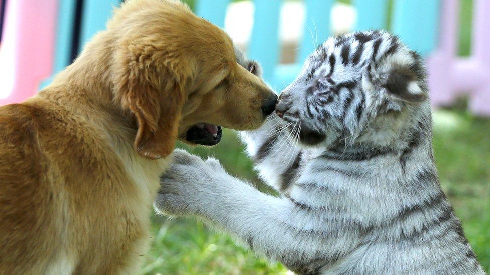 النمر الأبيض الفريد وهو يلعب مع كلب ريتريفر الذهبي