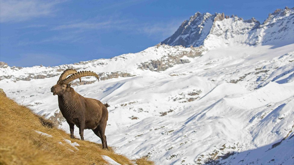 Alpine ibex in Italy, file pic, 4 Dec 18