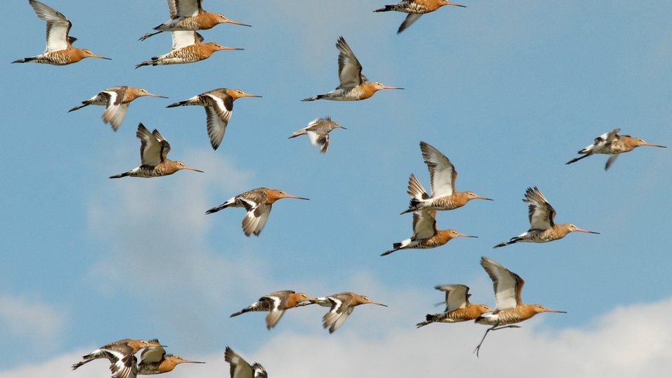 'Miracle' black-tailed godwits return to Welney to nest