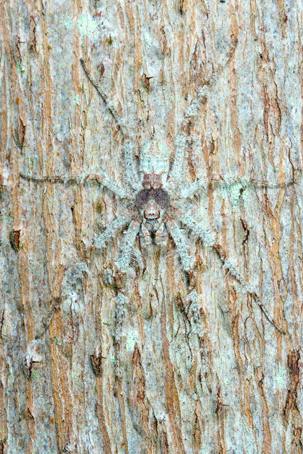 A large spider camouflaged on tree bark