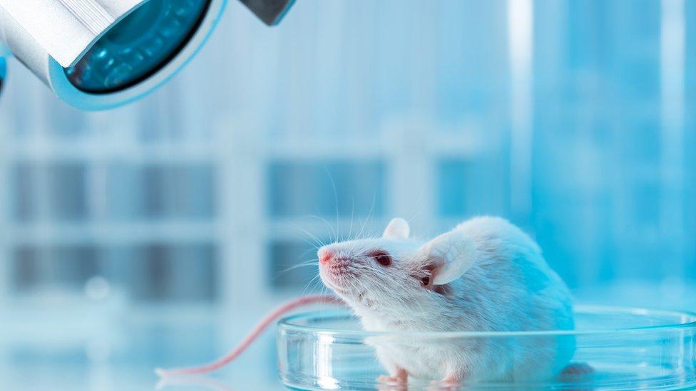 Ratón observado por un microescopio de laboratorio.