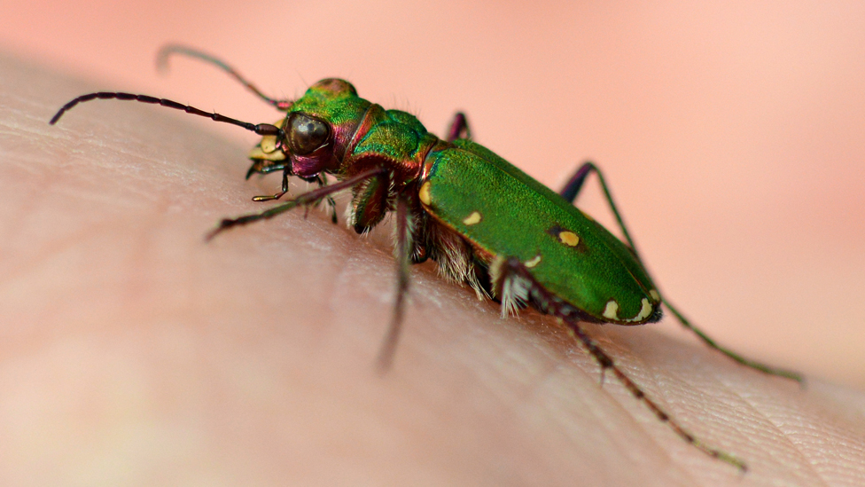 Green tiger beetle (Cicindela campestris)